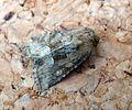 Middle-barred Minor. Oligia fasciunculata. - Flickr - gailhampshire.jpg