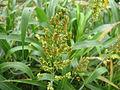 Millo - Sorghum bicolor 02.jpg