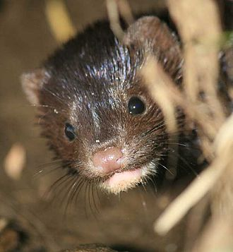 Martinez, California beavers - Mink returns to Alhambra Creek beaver pond 2009