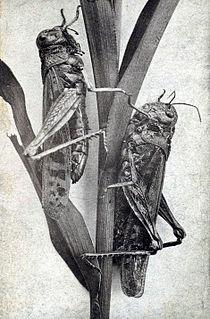 Rocky Mountain locust Extinct species of grasshopper