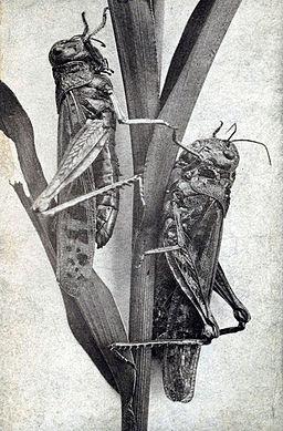 Minnesota locusts