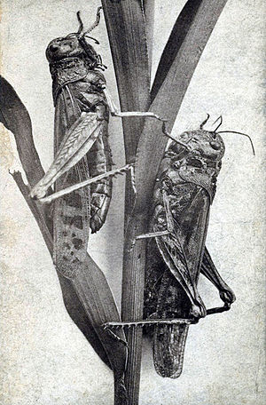 Rocky Mountain locust - Photo from the 1870s