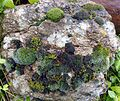 Mixture of Mosses - Flickr - gailhampshire.jpg