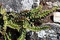 Mjältbräken-4439 - Flickr - Ragnhild & Neil Crawford.jpg