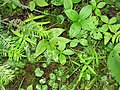 Moehringia macrophylla 1-eheep (5097939836).jpg