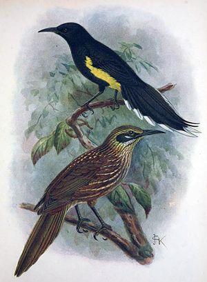 Mohoidae - Moho apicalis and Chaetoptila angustipluma