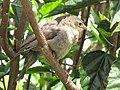 Molotrhus bonariensis (Chamón parásito) - Pichón (14377284464).jpg