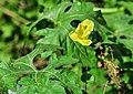 Momordica charantia flower 28042014 (1).jpg