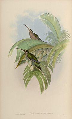 Eastern long-tailed shadow hummingbird