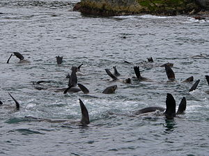 Montague Island (Australia) - Australian fur seals located in the water adjacent to the island