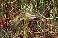 Montpellier Snake (Malpolon monspessulanus) male (Thanks to Jean Nicolas) (43624671624).jpg