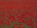 More Poppies (4714778162).jpg