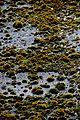 Moss, Jodrell Bank.jpg