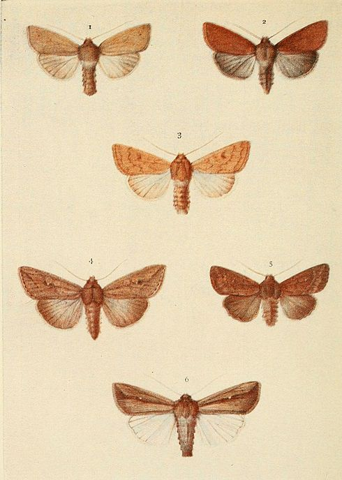 Moths of the British Isles Plate149.jpg