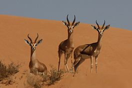 Mountain gazelles (gazella gazella).jpg