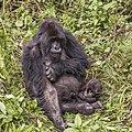 Mountain gorilla (Gorilla beringei beringei) mother with baby 2.jpg