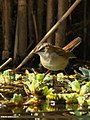 Moustached Warbler (Acrocephalus melanopogon) (34405169891).jpg
