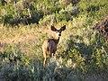Mule Deer Buck in Northern Nevada.JPG