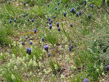 Muscari neglectum6