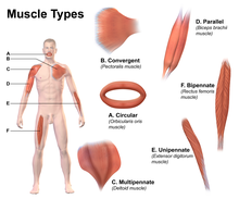 Your whats the body strongest muscle in What Is