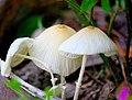 Mushroom,Lakhimpur.jpg