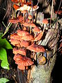 Mushroon Orange DSCF0534 (8).JPG