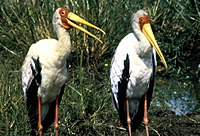 Mycteria ibis1