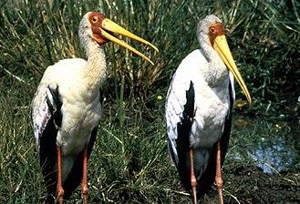 Mycteria - Yellow-billed storks (Mycteria ibis)