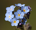 Myosotis - Forget-me-not 02.jpg