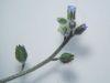 Myosotis ramosissima.jpeg