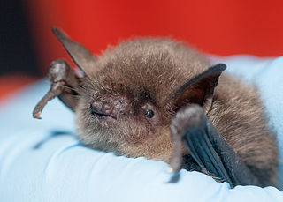 Yuma myotis species of mammal