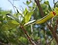 Myrica pensylvanica leaf (03).jpg