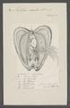 Mytilus edulis - - Print - Iconographia Zoologica - Special Collections University of Amsterdam - UBAINV0274 076 01 0024.tif