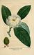 NAS-052 Magnolia virginiana.png