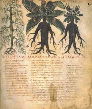 Living things in culture - Mandrake in Dioscorides's De Materia Medica, one of hundreds of medicinal plants used since classical antiquity