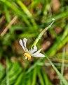 Narcissus poeticus in Causse Comtal (1).jpg