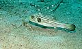 Narrow-lined Puffer (Arothron manilensis) (6053437158).jpg