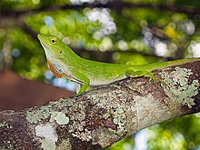 Neotropical green anole.jpg