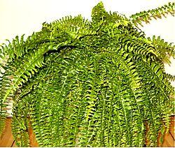 Nephrolepis exaltata indoor0705c.jpg