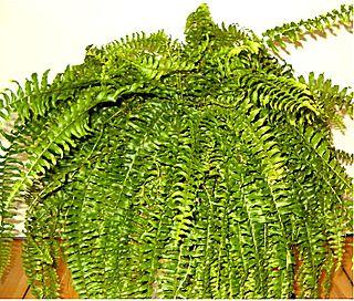 <i>Nephrolepis exaltata</i> species of plant