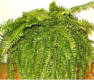 Nephrolepis exaltata - Image: Nephrolepis exaltata indoor 0705c