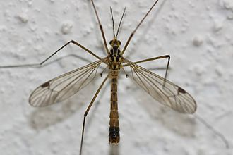 Homology (biology) - The hind wings of Dipteran flies such as this cranefly have evolved divergently to form small club-like halteres. These are homologous with the hind wings of other insects.