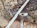 Nests of Braunsapis sp..JPG