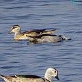 Nettapus coromandelianus, Cotton pygmy goose 2.jpg