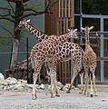 Netzgiraffe (Giraffa camelopardalis reticulata) Tierpark Hellabrunn-3.jpg