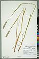 Neuchâtel Herbarium - Alopecurus pratensis - NEU000100152.jpg