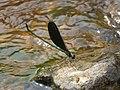 Neurobasis chinensis Linnaeus, 1758 – Stream Glory - Male at Ulikkal 2017 (6).jpg