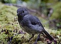 New Zealand Bush Robin (Petroica australis).jpg