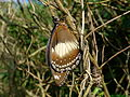 Newly emerged Varied eggfly with cocoon (5695332351).jpg