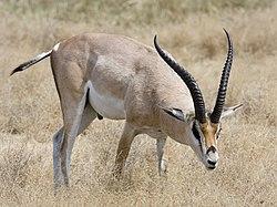 Ngorongoro Grant-Gazelle.jpg